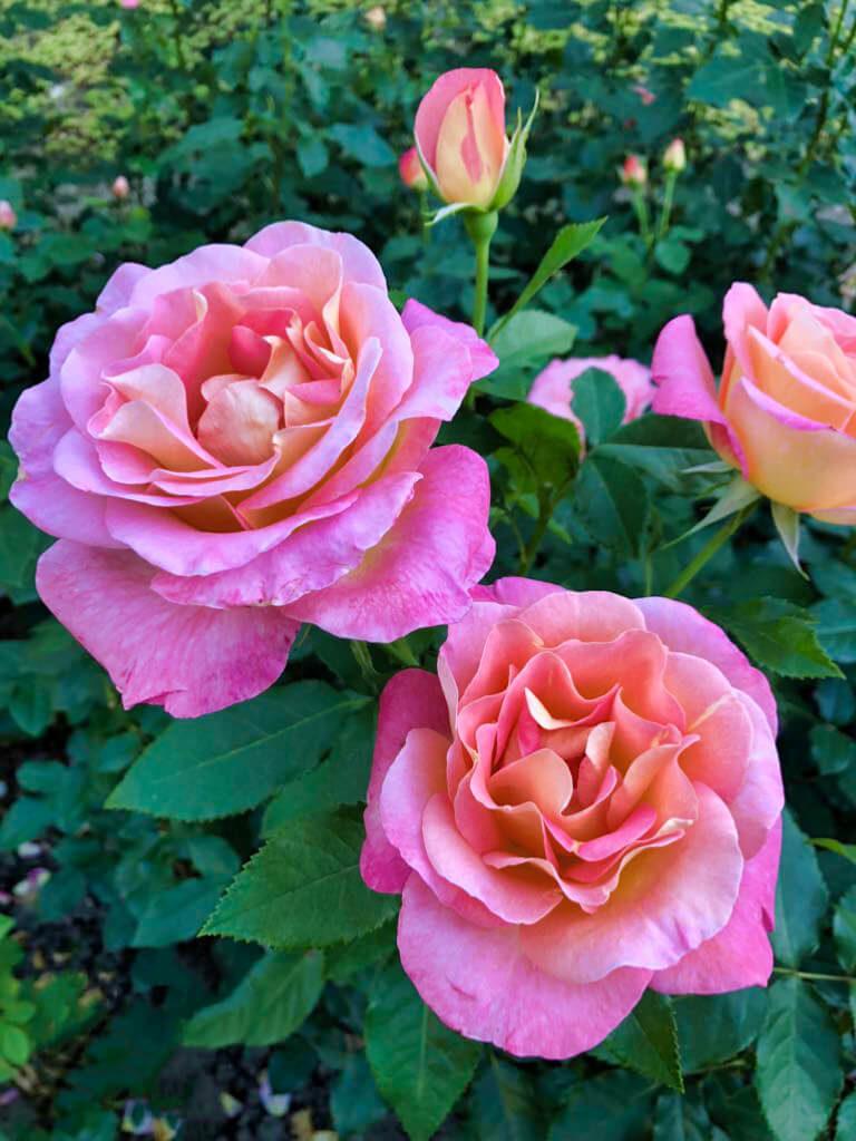 Fotos von Rosen im Rosengarten Bern (Foto: Sheria)